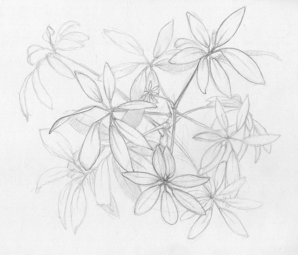 Fireworks - original drawing of Shefflera plant