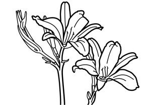 Consider the Lilies - Vector drawing formatted for engraving