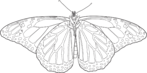 Underside-Monarch Butterfly - Vector drawing formatted for engraving